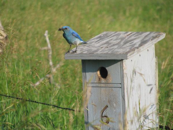 Blue Birds 2o12 006