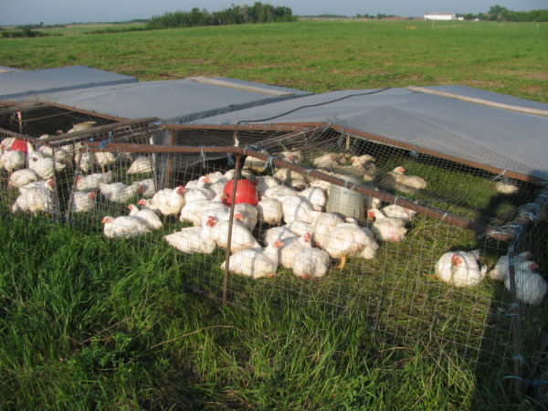 Poultry Grazing & LOading 2011 004