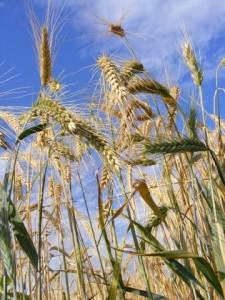 Ear-of-Wheat__14953-360x480