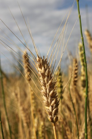 Ear-of-Wheat__48529-320x480