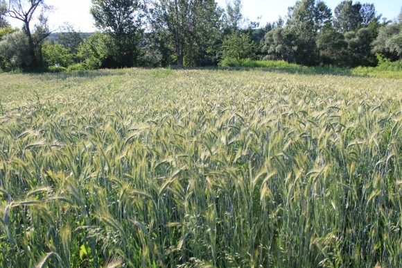 Wheat-Field-Green-Ears_Summer-June__IMG_0566-580x386
